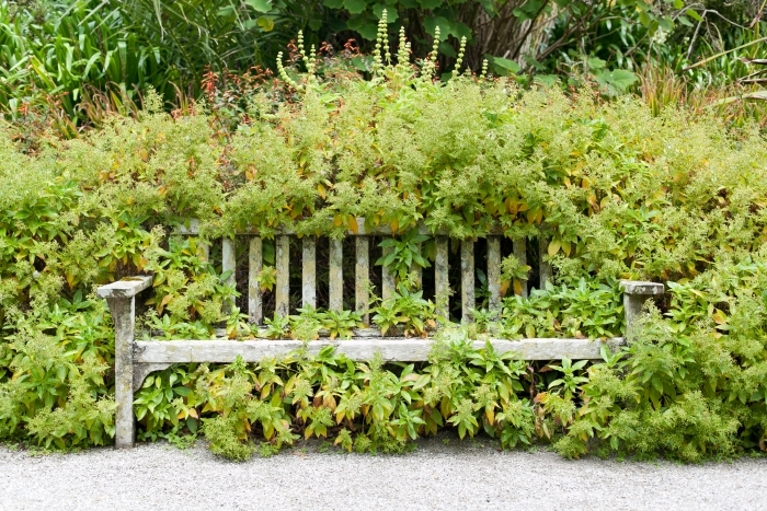 A bush growing into and over an old bench.