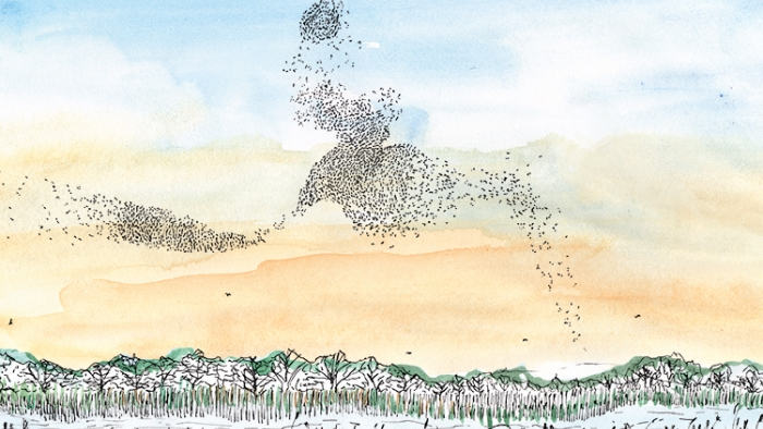 A watercolour illustration of a murmuration of birds.