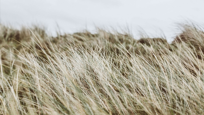 Long grass waving in the wind.